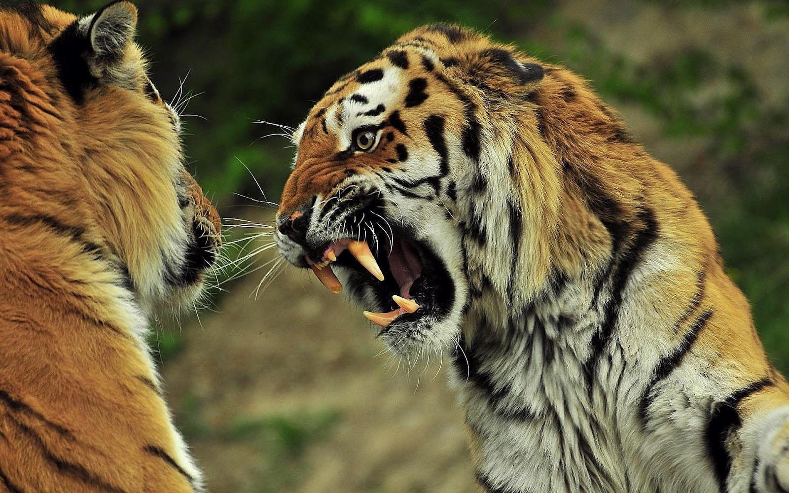 hd tijgers achtergrond met een gevaarlijke tijger die zijn tanden laat zien hd tijger wallpaper foto