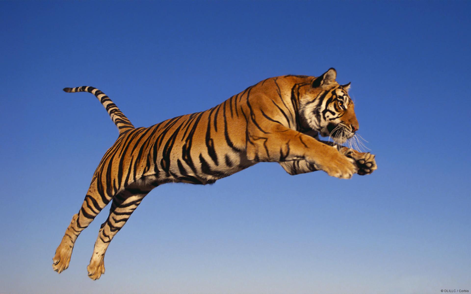 tijger1